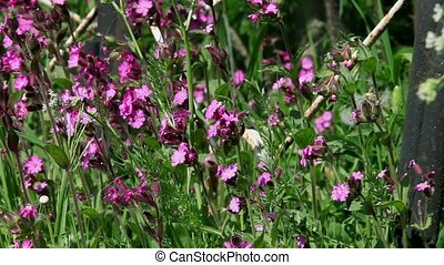 Wildflowers - Thickets wild field flowers lungwort and the...