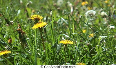 Wildflowers. - Wildflowers dandelions in the meadow among...