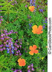 Wildflowers with Mexican Poppies growing off a hiking trail near Picacho Peak in the Coronado National Forest.