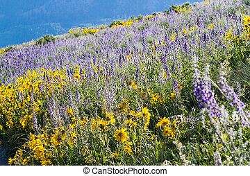 Wildflowers - Yellow and blue wildflowers in full bloom in...