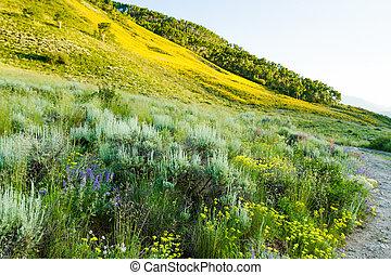 Wildflowers - Yellow wildflowers in full bloom in the...