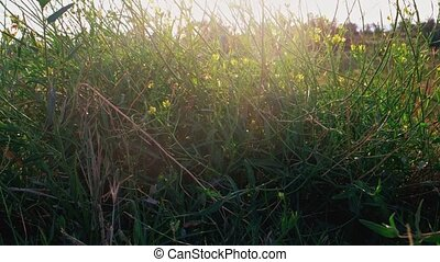 Wildgrass with small yellow flowers shivering on wind...