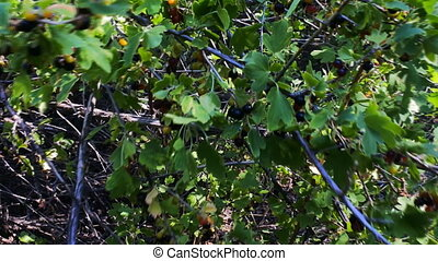 Wilding black currants (cassis) planted 70 years ago in...