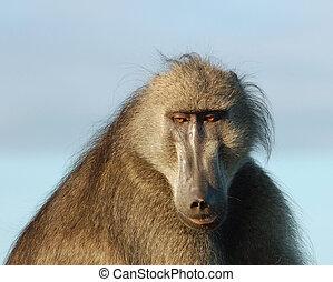 Wildlife Africa: Baboon