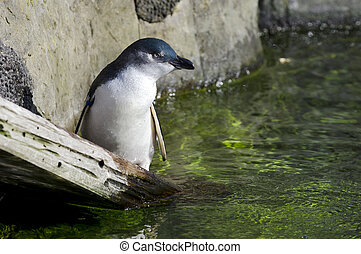 Wildlife and Animals - Blue Penguin - A Blue penguin.