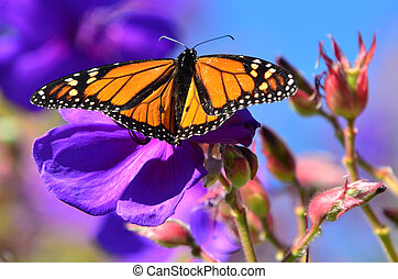 A close-up of a monarch butterfly on a purple flower.