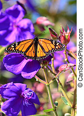 Wildlife and Animals - Butterflies - A close-up of a monarch...