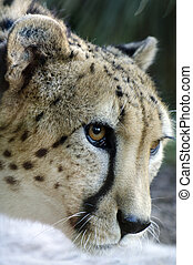 Wild african cheetah portrait, beautiful mammal animal, endangered carnivore in Africa.
