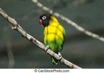 Wildlife and Animals - Exotic Bird - A lovebird exotic bird.