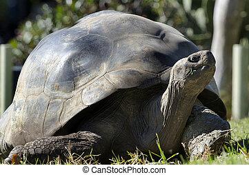 Wildlife and Animals - Galapagos Tortoises - Galapagos...