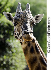 Wildlife and Animals - Giraffe - Male Giraffe Head.