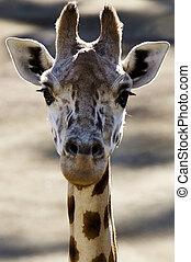Wildlife and Animals - Giraffe - Giraffe Head.