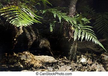 Wildlife and Animals - Kiwi - A Kiwi bird in her natural...