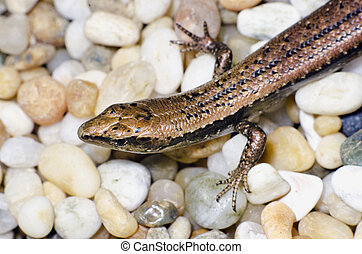 Wildlife and Animals - Lizards