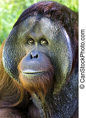 A portrait of a big male orangutan orange monkey from Borneo, south east asia.