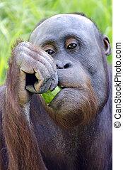 Wildlife and Animals - Orangutan - A young female orangutan...