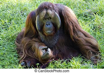 Wildlife and Animals - Orangutan - A big male orangutan...