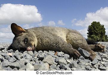 Wildlife and Animals - Possum - A possum killed by a car on...