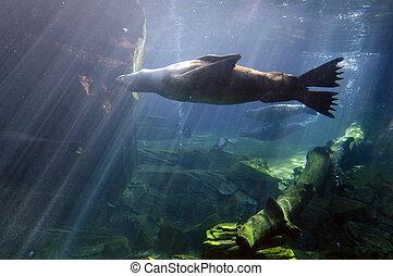 Wildlife and Animals - Sea Lions - Seal swim underwater.