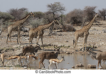 Wildlife at the waterhole in the Etosha National Park,...
