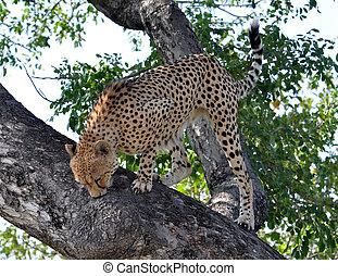 Wildlife in Africa: Cheetah