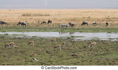 Grazing zebra, wildebeest and thomsons gazelles in marshland, Amboseli National Park, Kenya