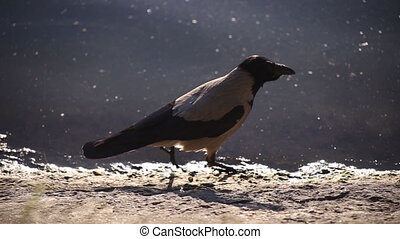 wildlife, non-waterfowl near the water, the jackdaw walks along the river bank