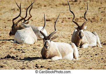 Wildlife Photos - Addax