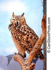 Wildlife Photos - Asio