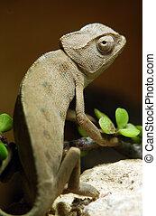 Wildlife Photos - Chameleon