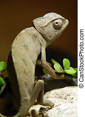 Wildlife Photos - Chameleon - An Israeli Chameleon sits on a...