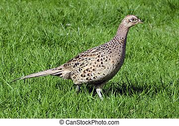 Wildlife Photos - Common Hen Pheasant - Hen Pheasant...
