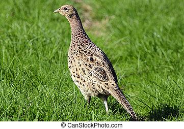 Hen Pheasant (Phasianus colchicus).