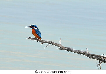 Wildlife Photos - Kingfisher - A common kingfisher on a...
