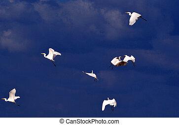 Wildlife Photos - Little Egret