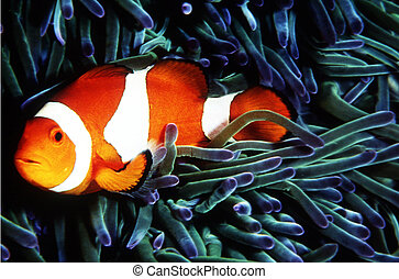 Wildlife Photos - Marine Life - A clownfish close up in his...
