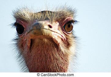 Wildlife Photos - Ostrich