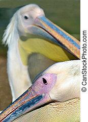 Wildlife Photos - Pelican