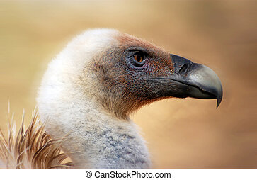 Wildlife Photos - Vulture