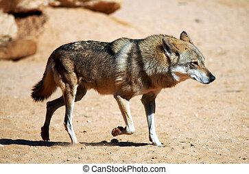 Wildlife Photos - Wolf - Gray wolf in the desert.