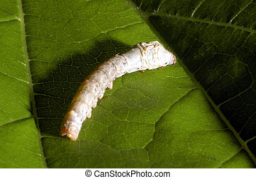 Wildlife Photos - Worm - Silkworm caterpillar eats a...