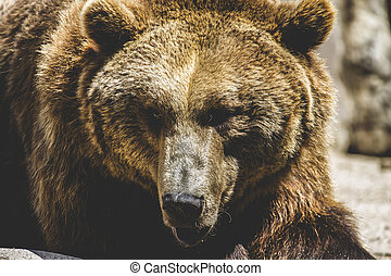 wildlife, Spanish powerful brown bear, huge and strong  wild ani