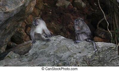 Wildlife  - Pair of monkey sitting on stone. Wildlife