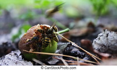 Wildlife swarm wasps eat rotten pear or apple on the ground.