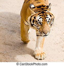 wildlife tiger