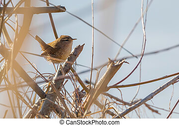 wildlife., troglodytes), eurasiático, reyezuelo, rama, (troglodytes, pájaro