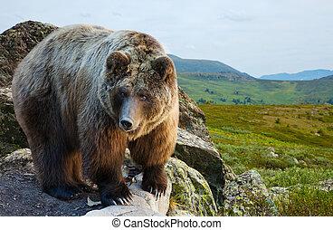 wildness, pedra, urso