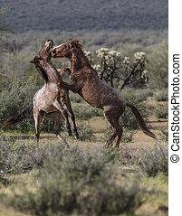 wildpferde, spiel- kämpfen