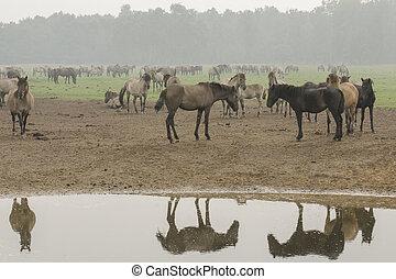 wildpferde, wasser, je, spiegeln, sich