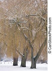 wilg, winter bomen